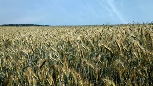 wheat field - hay field stock videos & royalty-free footage