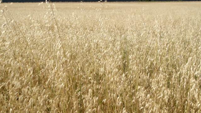 vídeos de stock e filmes b-roll de trigo campo. - agrafo