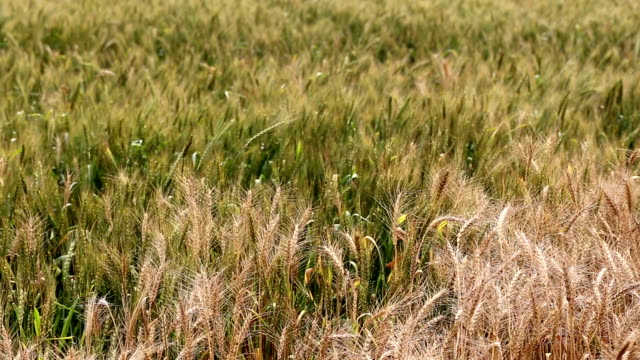 wheat field - monoculture stock videos & royalty-free footage