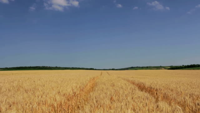 weizen field - cereal plant stock-videos und b-roll-filmmaterial