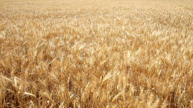 wheat field - gale stock videos and b-roll footage