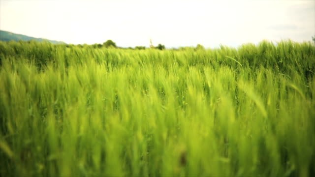 wheat field - agricultural field stock videos & royalty-free footage