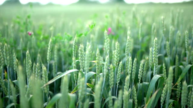 vetefält - gröda bildbanksvideor och videomaterial från bakom kulisserna