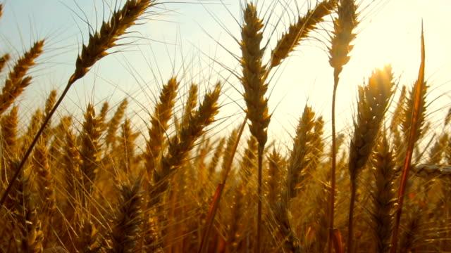 小麦のフィールド - 穀物 ライムギ点の映像素材/bロール