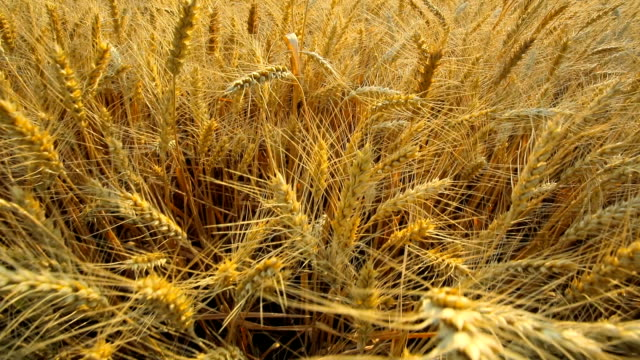 wheat field - barley stock videos and b-roll footage