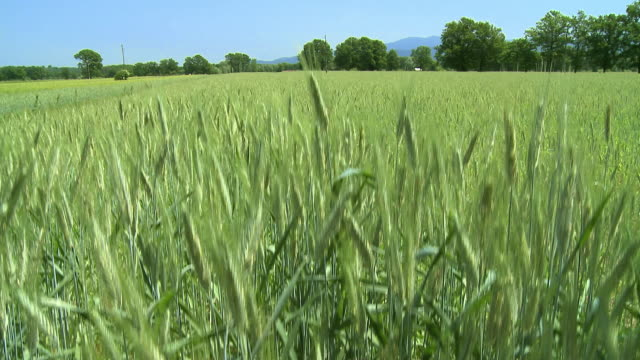 ws tu wheat field / vrhnika, slovenia - vrhnika stock videos and b-roll footage