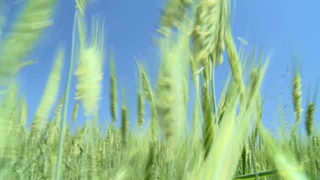 ws pov pan wheat field / vrhnika, slovenia - vrhnika stock videos & royalty-free footage
