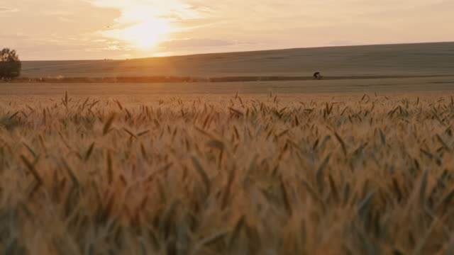 slo mo wheat field with a cyclist riding a bike in the distance at sunset - prekmurje stock videos & royalty-free footage