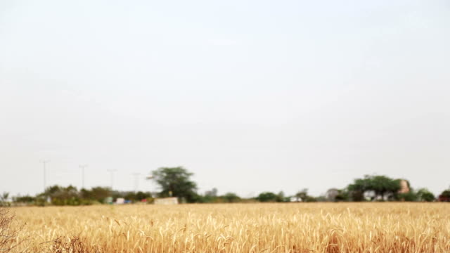 Wheat field with copy space near highway