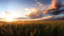 wheat field with glowing beards @ dusk