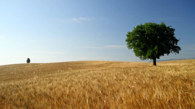 vídeos y material grabado en eventos de stock de wheat field with oak tree in summer, val d'orcia, siena province, tuscany, italy - trigo