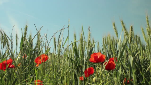 wheat field with red poppies - wildflower stock videos and b-roll footage