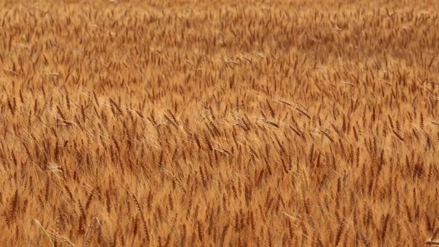Wheat field with the wind