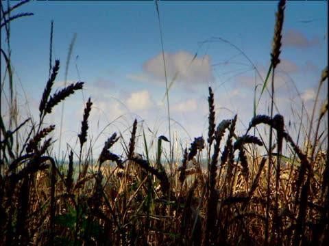 wheat fields and combine harvesting east anglia - イーストアングリア点の映像素材/bロール