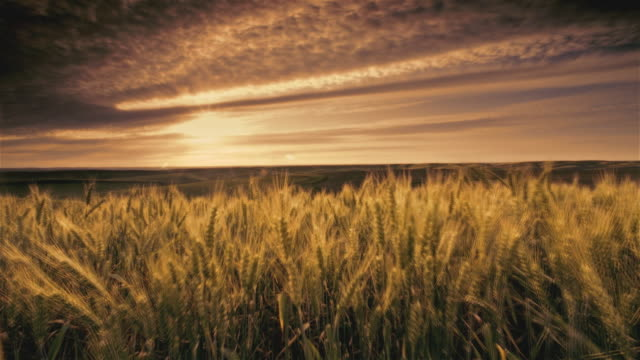 ws wheat fields at sunset, palouse, washington, usa - wheat stock videos & royalty-free footage