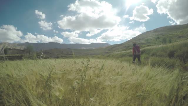 Wheat fields in Ladakh, India