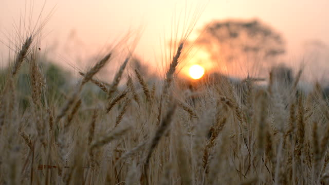 HD MS: Wheat Fields with Sunrise