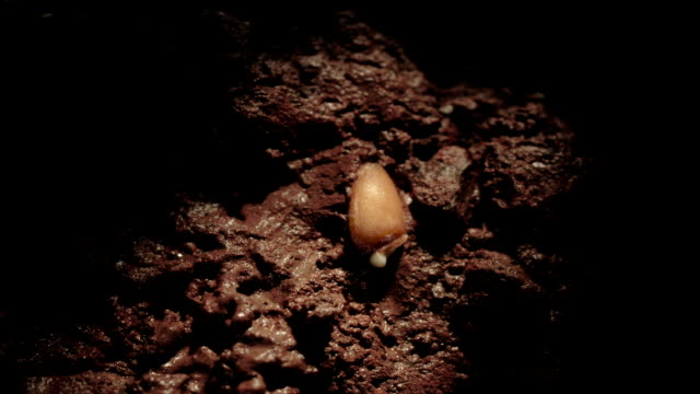 """wheat germinating underground, timelapse"" - germinating stock videos & royalty-free footage"