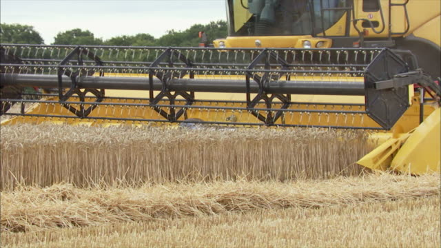 Wheat grain being harvested