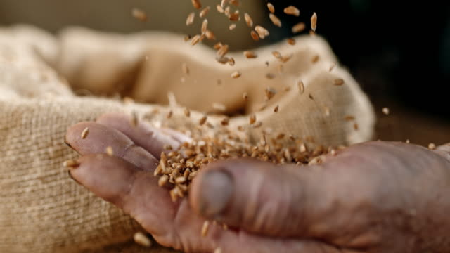 slo mo wheat grains falling on a hand of an elderly person - cereal plant stock videos & royalty-free footage