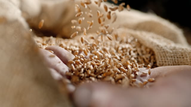 vídeos de stock e filmes b-roll de slo mo wheat grains falling on a hand - semente
