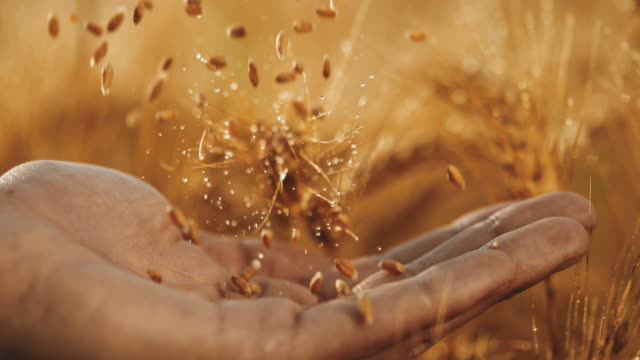 slo mo wheat grains falling on an open hand - cereal plant stock videos & royalty-free footage