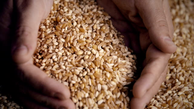 Wheat Grains in Hands