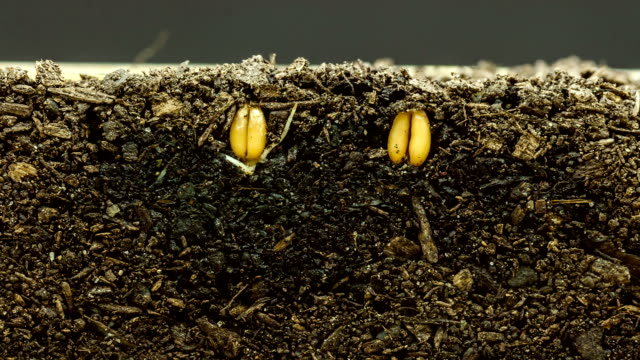 Weizen wachsen aus Samen timelapse