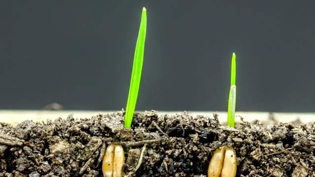 Wheat growing from seed timelapse