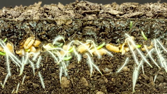 vídeos y material grabado en eventos de stock de cultivo de germen de trigo timelapse - semilla