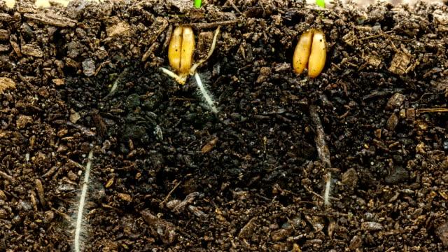 vídeos de stock e filmes b-roll de wheat growing from seed timelapse - germinação