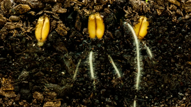 wheat growing from seed timelapse - germinating stock videos & royalty-free footage