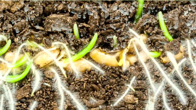 vidéos et rushes de le développement de graines de blé - phénomène naturel