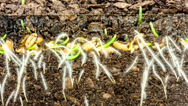 wheat growing from seed timelapse - root stock videos and b-roll footage