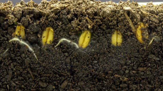 wheat growing from seed timelapse - germoglio video stock e b–roll