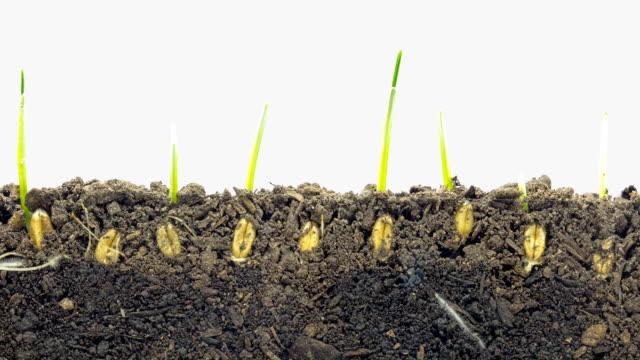 vídeos y material grabado en eventos de stock de cultivo de germen de trigo timelapse - grano planta