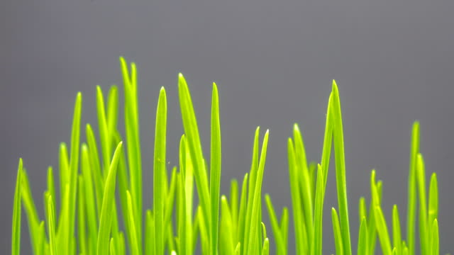 wheat growing from seed timelapse - grass stock videos & royalty-free footage