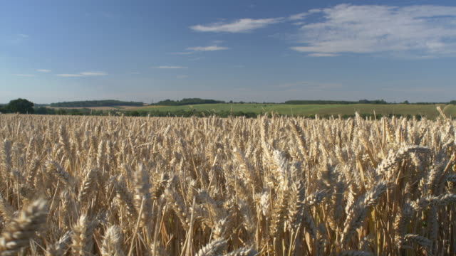 stockvideo's en b-roll-footage met wheat harvest 4k - stilstaande camera