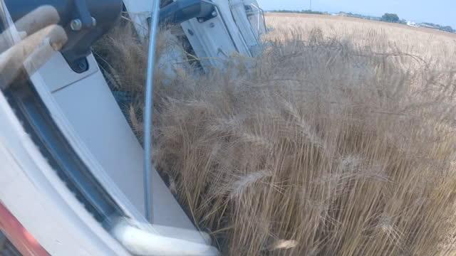 cu, wheat harvesting, gunma, japan - 六月点の映像素材/bロール
