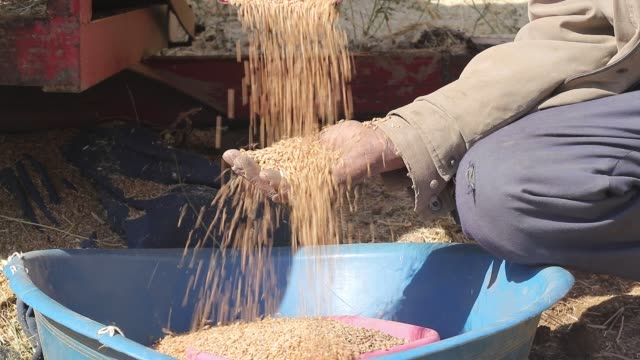 wheat harvesting with old method and farmer's hands with wheat grains - manciata attività video stock e b–roll