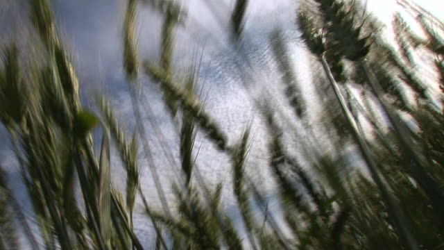 wheat husks wave beneath wispy clouds. - rauchartig stock-videos und b-roll-filmmaterial