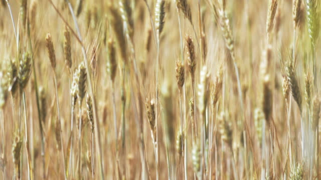 wheat in a field on a windy day - ripe stock videos & royalty-free footage