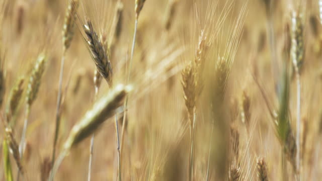 wheat in a field on a windy day - swaying stock videos & royalty-free footage