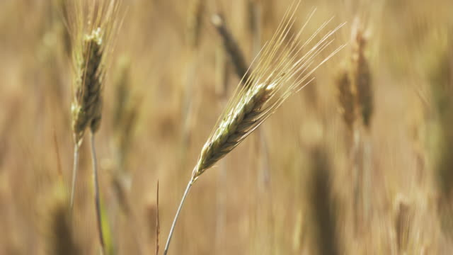wheat in a field on a windy day - wheat stock videos and b-roll footage