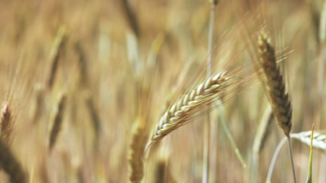 wheat in a field on a windy day - ripe stock videos and b-roll footage