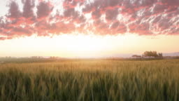 Wheat, irrigation, dusk landscape