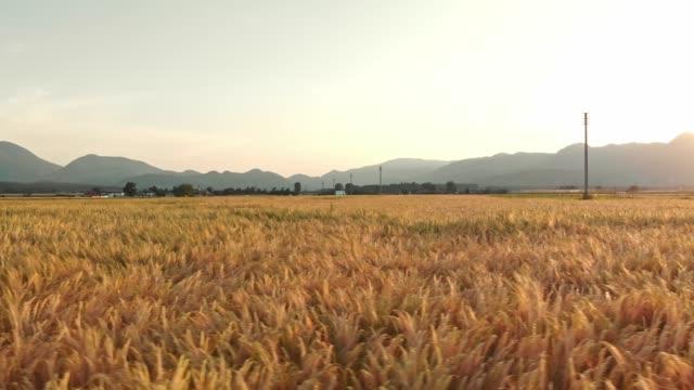 stockvideo's en b-roll-footage met tarwe die in de wind beweegt - volkorentarwe