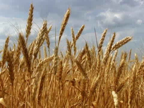 Wheat, panorama, NTSC, PAL