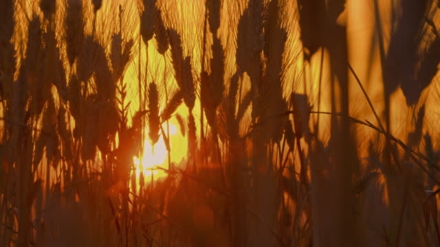 ds wheat plants in the sunset - wheat stock videos & royalty-free footage