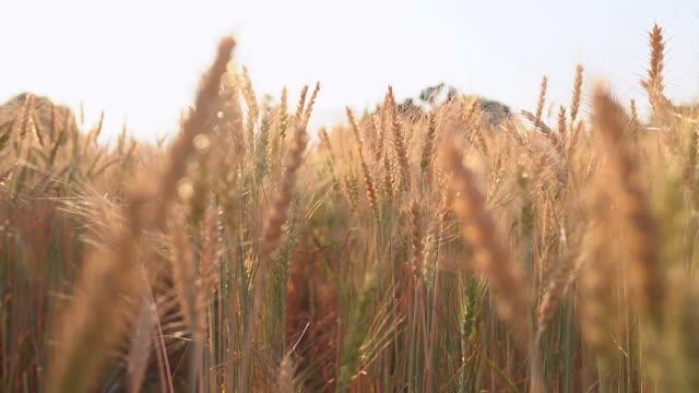 vídeos y material grabado en eventos de stock de plantas de trigo moviéndose por el viento al atardecer (lento movimiento) - trigo